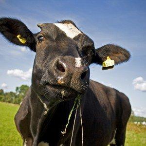 Cash Cow / Lembu Kontan