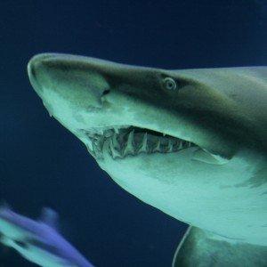 shark_original
