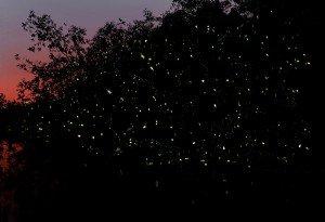 Credit to Arild Hagen Norway Speed 30, f9, iso16000 & The Guardian of the Taiping Fireflies, En Khairulisa Salleh
